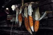 hanging dried corn in an old barn