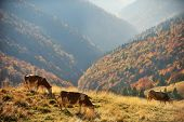 Cows Grazing Up The Mountain In Autumn