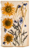 Dried Flowers On Aged Paper Sheet. Herbarium Of Sunflowers, Cornflower, Lavender