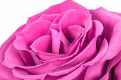 Beautiful Romantic Pink Rose