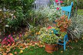Ornamental fancy leaf geraniums on a turquoise garden chair.