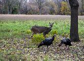 Doe and Turkeys
