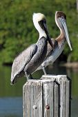 Pelicans on posts