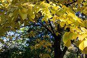Autumnal Basswood Yellow Tree