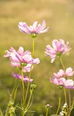 Dainty pink Cosmos flowers back lit by evening sun