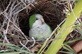 Monk Parakeet In Nest