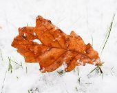 Brown oak Tree Leaf With Fresh Snow