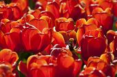 Red Tulips, Keukenhof, The Netherlands