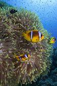 Anemone fish and anemone