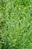 Wormwood (artemisia Absinthium L.) On Green Background