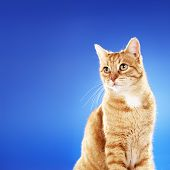 Senior (10 years) domestic ginger cat sitting in front of blue background. Copy space on the left si