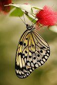 Butterfly - Idea Leuconoe