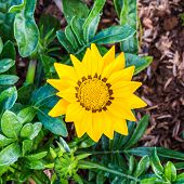 Gazania Rigens Flower