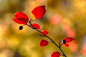 foto of aronia  - Autumnal aronia branch with red leaves close up - JPG
