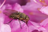Cluster-fly on pink foreaging