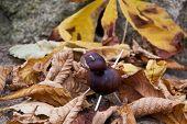 Chestnut Animal