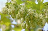 picture of bine  - Ripe hop cones branch taken closeup.Beer production.