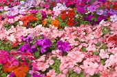 Colorful Impatiens Flowers
