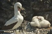 pic of booby  - The Nazca booby (Sula granti) is a booby found in the eastern Pacific Ocean, primarily on the Gal�pagos Islands and on Clipperton Island.
