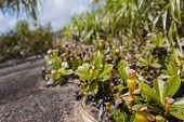 Pitcher Plants On Mahe, Seychelles