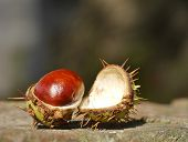 Open horse chestnut resting on brick wall with out of focus background