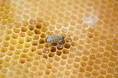 picture of working animal  - bees work on honeycomb - JPG