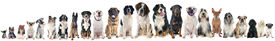 foto of border terrier  - group of dogs of a white background - JPG