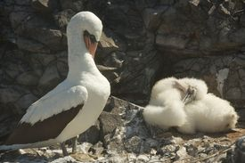picture of boobies  - The Nazca booby (Sula granti) is a booby found in the eastern Pacific Ocean, primarily on the Gal�pagos Islands and on Clipperton Island. ** Note: Soft Focus at 100%, best at smaller sizes - JPG