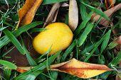 Orange, Yellow Ripe Mango Felt From Tree On Grass In Garden