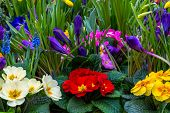 pic of primrose  - Shallow focus on several colorful garden flowers - JPG
