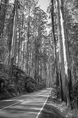 pic of spurs  - Towering trees and tree ferns in the forest along the Black Spur in the Yarra Valley Victoria Australia in black and white - JPG