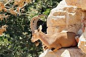 pic of biblical  - Male Nubian ibex in Jerusalem Biblical Zoo Jerusalem Israel - JPG