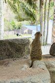 Meercat Standing Lookout Concept