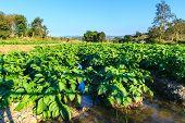 picture of potato-field  - Potato field on blue sky landscape in Thailand - JPG