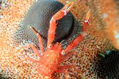 Tiny Squat Lobster