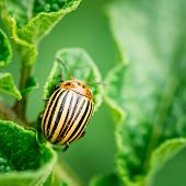 stock photo of potato bug  - The Colorado potato striped beetle Leptinotarsa decemlineata is a serious pest of potatoes
