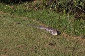 Brazilian Lizard