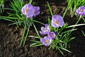 The First Purple Crocuses