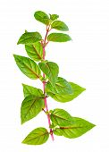 Green Branch Of Fuchsia With Red Veins With Dew Is Isolated On White Background, Closeup