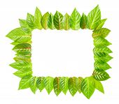 Fresh Green Leaves Frame Is Isolated On White Background