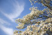 image of dogwood  - Beautiful Dogwood blossoms against a a blue sky background - JPG