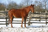 picture of chestnut horse  - Beautiful young chestnut horse standing winter paddock under blue sky - JPG