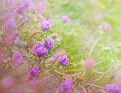 stock photo of red clover  - Soft focus on Flowering red clover in a meadow - JPG