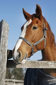 Portrait Of Nice Purebred Bay Horse At Corral Door