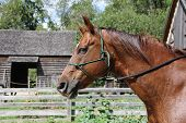 picture of parade  - Horse trained with Natural Horsemanship walking in Upper Canada Village - JPG