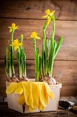 Work In The Garden: Yellow Daffodils Blooming In A Pot