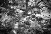 Omani Desert Tree Roots
