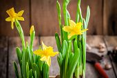Working In The Garden: Bright Yellow Daffodils Close-up