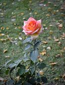 Rose in autumn park.