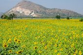 Mountain At Sun Flower Field In Thailand